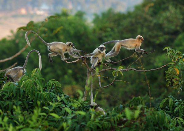 Langurs Morning in the jungle WEB Sergei Kolyaskin