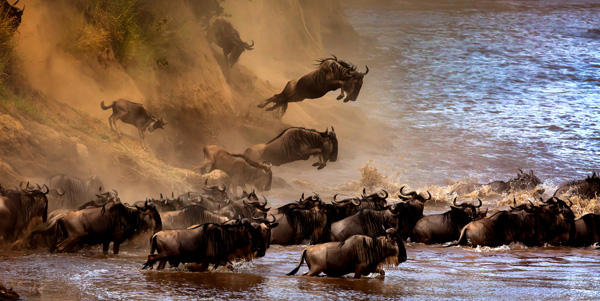 The Great Migration of Wildebeest Sergey Agapov